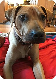 Rhodesian Ridgeback/Shar Pei Mix Dog for adoption in St Petersburg, Florida - MOJO