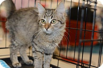 Maine Coon Kitten for adoption in Harrisburg, North Carolina - Margarite