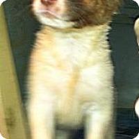 Adopt A Pet :: Loki - Nashua, NH