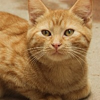 Domestic Shorthair Cat for adoption in Savannah, Missouri - Roosevelt