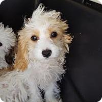 Adopt A Pet :: Bailey - Algonquin, IL