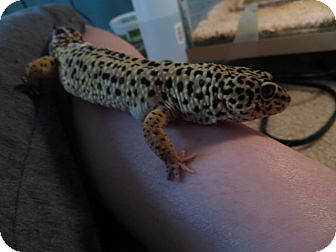 Gecko for adoption in Greenfield, Indiana - Bubba