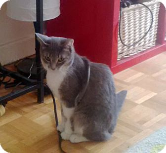 Domestic Shorthair Cat for adoption in Mississauga, Ontario, Ontario - Macey
