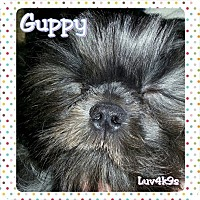 Shih Tzu Puppy for adoption in DAYTON, Ohio - Guppy