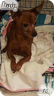 Miniature Pinscher Dog for adoption in Mount Pleasant, South Carolina - Cinnamon