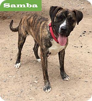 Boxer/Labrador Retriever Mix Puppy for adoption in Albuquerque, New Mexico - Samba