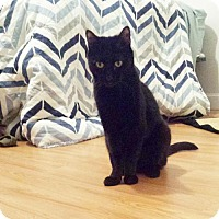 Adopt A Pet :: Shelby - Somerville, MA