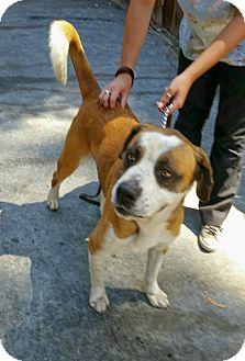 St. Bernard Mix Dog for adoption in Lake Forest, California - Buddy
