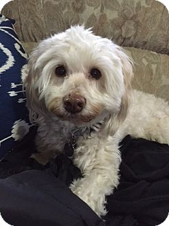 Westie, West Highland White Terrier/Poodle (Miniature) Mix Dog for adoption in Battle Ground, Washington - Lillee
