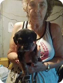 Chihuahua/Yorkie, Yorkshire Terrier Mix Puppy for adoption in springtown, Texas - Tiny Tim