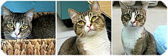 Domestic Shorthair Cat for adoption in Forked River, New Jersey - Chiquita