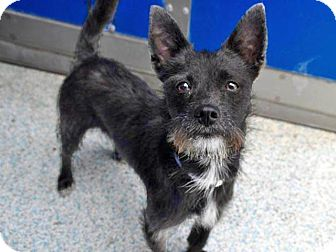 Terrier (Unknown Type, Small) Mix Dog for adoption in Long Beach, California - Connor