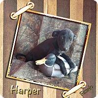 Adopt A Pet :: Harper in CT - Manchester, CT
