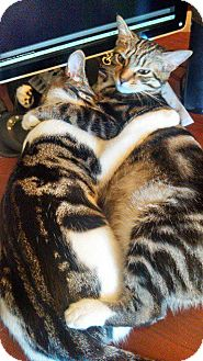 Calico Cat for adoption in Baltimore, Maryland - Gabby&Toby (COURTESY POST)