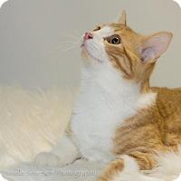 Adopt A Pet :: Cheetoh - St. Louis Park, MN