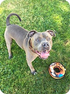 Pit Bull Terrier Mix Dog for adoption in kennebunkport, Maine - Brosco - in Maine