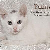 Adopt A Pet :: Patina - Ortonville, MI