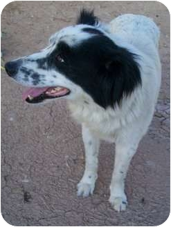 Border Collie Dog for adoption in Gilbert, Arizona - BUNNY