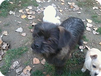 Lhasa Apso/Terrier (Unknown Type, Small) Mix Dog for adoption in Seattle, Washington - Elsie