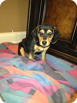 Beagle/Dachshund Mix Puppy for adoption in Russellville, Kentucky - Riggins