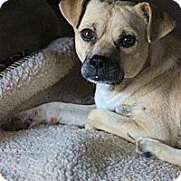 Adopt A Pet :: Pumba - Poway, CA