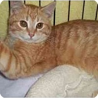 Adopt A Pet :: Velveeta - Acme, PA
