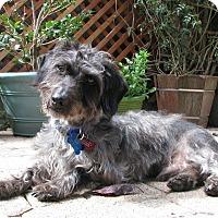 Adopt A Pet :: Scrumpy - San Francisco, CA
