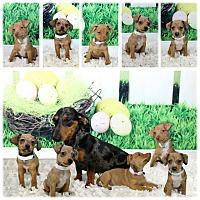 Adopt A Pet :: Daschund/chihuahua puppies - Chicago, IL