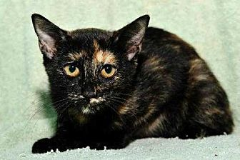Domestic Shorthair Cat for adoption in San Angelo, Texas - Survivor