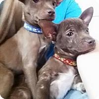 Adopt A Pet :: Chocolate Litter - Santa Rosa, CA