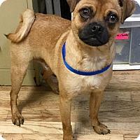 Adopt A Pet :: Pugster - Phoenix, AZ