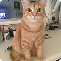 Domestic Shorthair Cat for adoption in Arlington/Ft Worth, Texas - Rudy