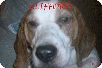 Beagle Dog for adoption in Ventnor City, New Jersey - CLIFFORD