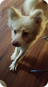 Spitz (Unknown Type, Medium)/Pomeranian Mix Dog for adoption in Acworth, Georgia - Loki