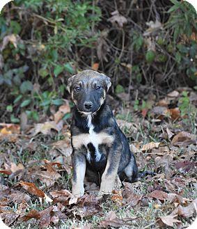 Shepherd (Unknown Type) Mix Puppy for adoption in Groton, Massachusetts - Razzy