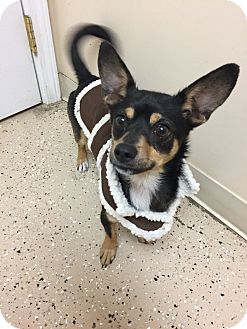 Chihuahua Mix Puppy for adoption in Circleville, Ohio - Tanner