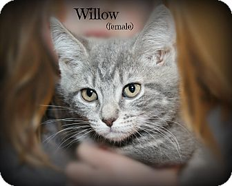 Domestic Shorthair Kitten for adoption in Glen Mills, Pennsylvania - Willow