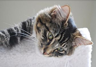 Maine Coon Cat for adoption in Seattle, Washington - Bear