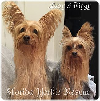 Yorkie, Yorkshire Terrier Dog for adoption in Palm City, Florida - Lady and Tiggy