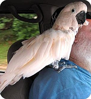 Cockatoo for adoption in Shawnee Mission, Kansas - Ziggy