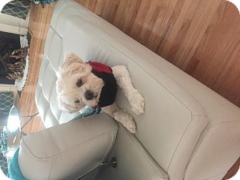 Shih Tzu Mix Dog for adoption in Ridgefield, Connecticut - Bucky
