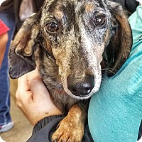 Adopt A Pet :: Linguini Sam - San Antonio, TX