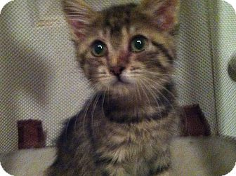 Domestic Shorthair Kitten for adoption in Pittstown, New Jersey - Rosie
