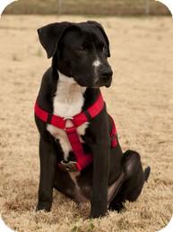 Retriever (Unknown Type)/Hound (Unknown Type) Mix Puppy for adoption in Philadelphia, Pennsylvania - Happy