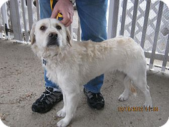 Labradoodle Mix Puppy for adoption in Avon, Ohio - BLITZEN