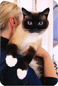 Siamese Cat for adoption in Davis, California - Maxwell