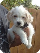 Shih Tzu/Poodle (Miniature) Mix Puppy for adoption in El Cajon, California - Daily