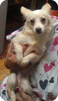 Chihuahua/Lhasa Apso Mix Dog for adoption in Waldorf, Maryland - Gio