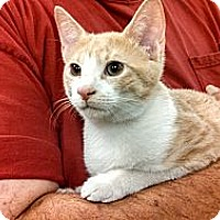Adopt A Pet :: Buff - Cranford/Rartian, NJ