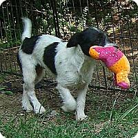 Adopt A Pet :: Trixie (In New England!) - Brattleboro, VT